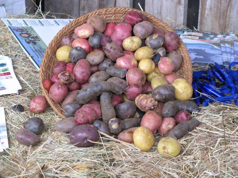 Quelle variété de pomme de terre choisir?